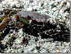 The shore crab (Carcinus maenas) is often associated with the rocky shore, but is equally at home on the sand