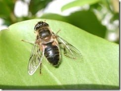 The drone fly (Eristalis tenax) is a hoverfly named for its remarkable mimicry of the honey bee, which helps to protect it from predators.