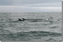 Fin Whales (Balaenoptera physalus) off the coast of West Cork, Ireland