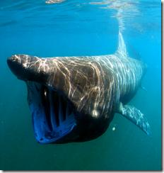 Basking Shark (Cetorhinus maximus) -- image by Greg Schomal