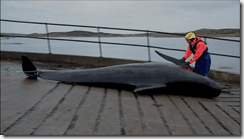 A rescuer recovering the body of a pilot whale at South Uist over the weekend