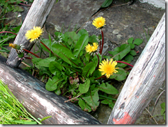 The humble dandelion (Taraxacum officinale), gardeners blight or intrepid coloniser?