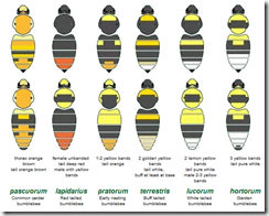 Get help with bumblebee ID from the UK's Natural History Museum