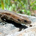 Common Lizard -- Ireland's only native land reptile