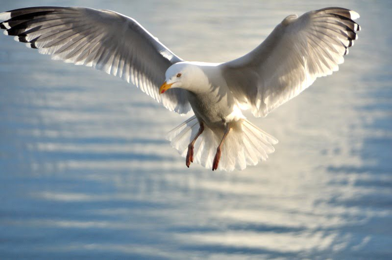 No need for gull cull