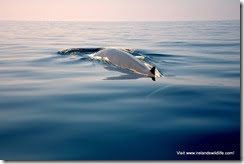 Fin whale showing a rarely-seen glimpse of it's fluke just beneath the surface.