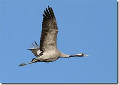 Long gone! The Eurasian Crane is extinct as a breeding species in Ireland