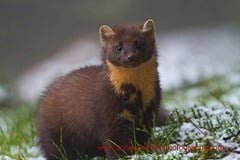 Pine Marten (Martes martes) in the Cooley Mountains, Co. Louth