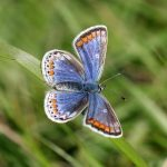 common-blue-female-l-lysaght.jpg