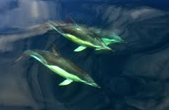 Common dolphins find sanctuary in Irish waters