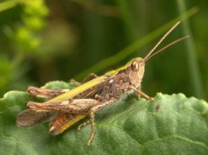 Field Grasshopper (Brian Eversham, National Biodiversity Data Centre)