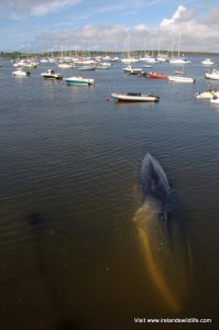 Fin whale stranded in Baltimore harbour, West Cork