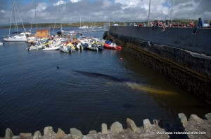 Fin whale stranding in Baltimore, West Cork