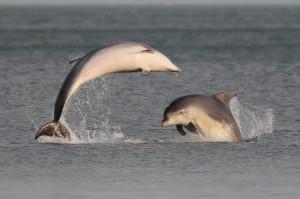 Bottlenose Dolphins in Killiney Bay, Co. Dublin by Robert Kelly via the Ireland's Wildlife Flickr Group