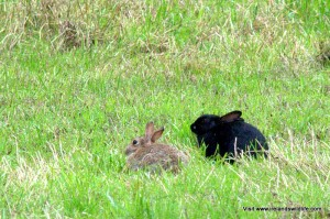 "Melanistic ""black"" rabbits occur quite regularly in some populations"