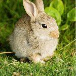 A young European Rabbit (Oryctolagus cuniculus)