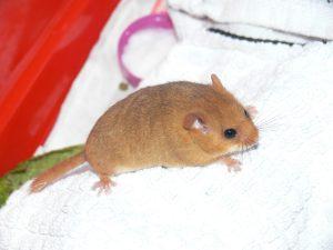 Non-native Hazel Dormouse found in County Kildare, Ireland