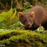 Irish pine marten populations recovering