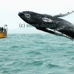 A humpback whale breaches alongside a botat in West Cork (c) Simon Duggan