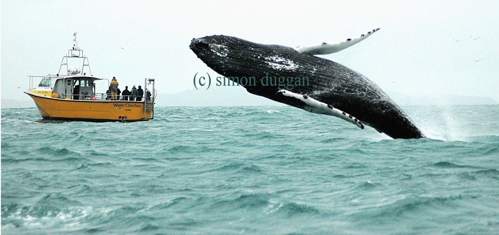 A humpback whale breaches alongside a botat in West Cork (c) Simon Duggan
