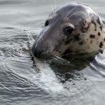 Grey Seal by Leon van der Noll