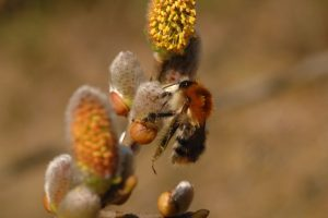 Common carder bee most common bumblebee in Ireland