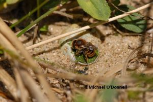 Solitary bee Osmia aurulenta