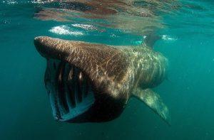 Basking Shark Ireland