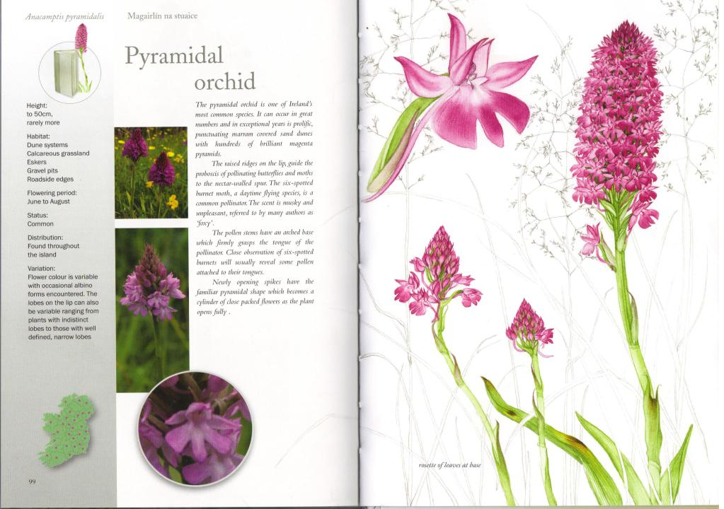 Species account of the Pyramydal Orchid