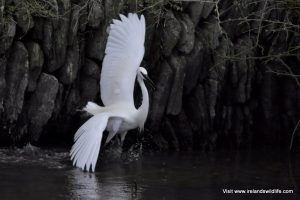 Little Egret, Rosscarbery, West Cork