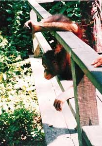 Orangutan rehabillitation