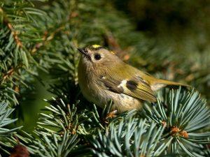 Goldcrest, Ireland's smallest bird