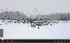 Crow ID video from the BTO