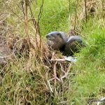 Otters in West Cork