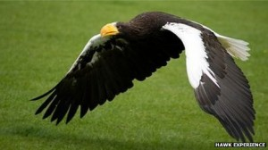 Stellar's sea eagle