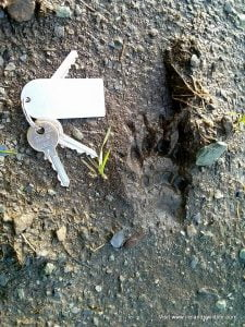 A badger print in mud