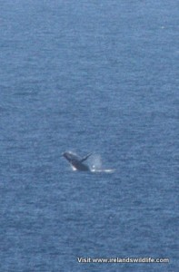 Humpback whale breaching -- photographed from shore at Kalbarri, WA