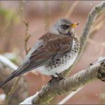 Fieldfare -- a common winter visitor to Ireland