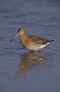 Black-tailed godwit. Credit Chris Gomersall(rspb-images.com)