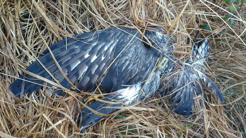 Hen harrier shot in Co. Kerry Ireland
