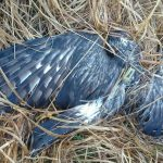 Hen harrier shot in Co. Kerry Ireland