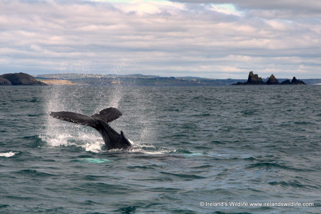 Humpback whale off The Stags in West Cork on Ireland's Wild Atlantic Way