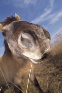 Konik pony, Andy Hay (rspb-images.com)