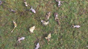 Multiple dead frogs