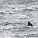 Basking Shark Dursey Island, West Cork