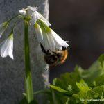 Early flowers provide vital food for pollinators