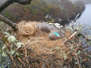 The white tailed eagle found dead on her nest in Connemara (Photo © Dermot Breen, NPWS)