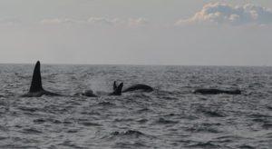 Killer Whales in Ireland under threat from marine pollution