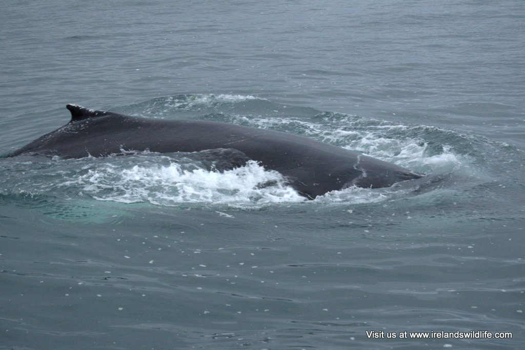 Humpback whale surfacing just off Inchydonney, West Cork