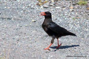 Wildlife walk west cork choughs